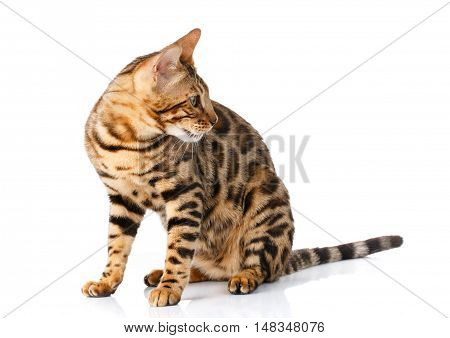 Bengal cat on white background sits sideways, looks aside