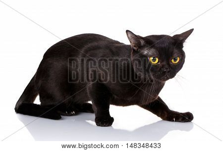 black cat with yellow eyes crouched on a white background