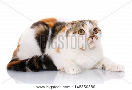 white, red-haired and brown cat lying sideways on a white background, looking up
