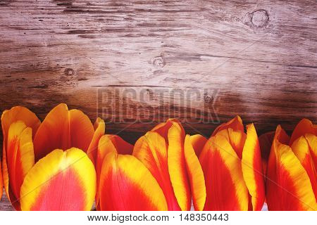 tulips lined up in a line on a wooden background with space for text. holiday concept