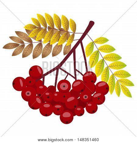 Rowan Bunch Rowan Berries Rowan Vector. Rowan Isolated on White Background. Bunch of Juicy Rowan Berries.