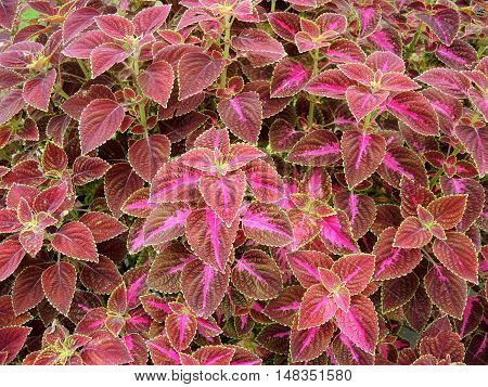 Coleus leaves also called Painted nettle Flame nettle. Leaves background.