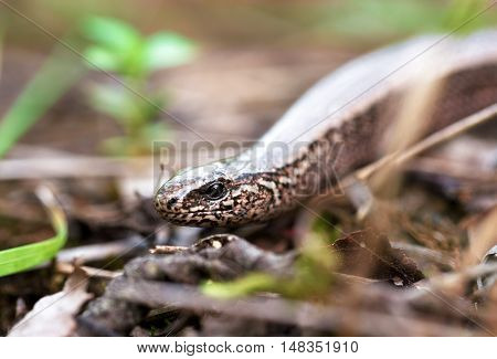 Slow Worm Or Blind Worm, Anguis Fragilis