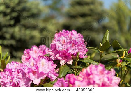 The blooming azalea blossom in garden nature