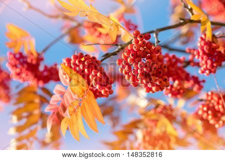 Red clusters of rowan against the blue sky