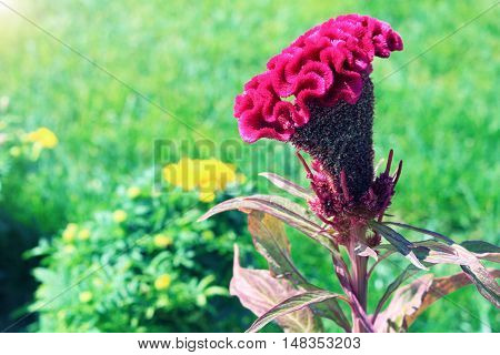 Pink comb celosia flower on background of green grass. Nature botany photo