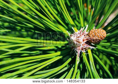Small new fir cone growing on branch of fir tree. Nature botany photo close-up