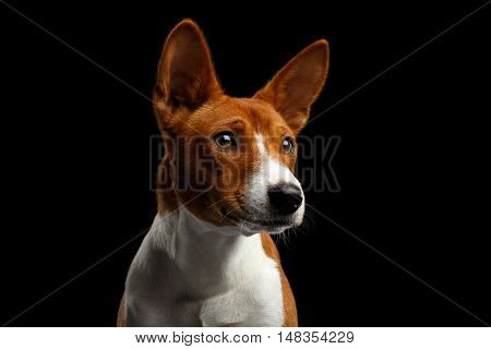 Close-up Humanity Portrait White with Red Basenji Dog Stare up on Isolated Black Background, Font view