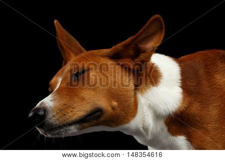 Close-up Funny Portrait of White with Red Basenji Dog Shake his head on Isolated Black Background