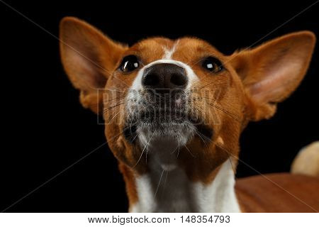 Close-up Funny Portrait White with Red Basenji Dog Raising Nose up on Isolated Black Background, Font view
