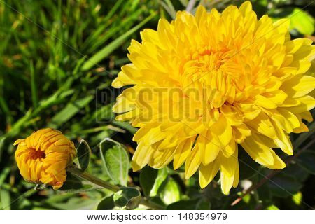 Yellow chrysanthemum flower on a background of green grass. Nature botany photo close-up