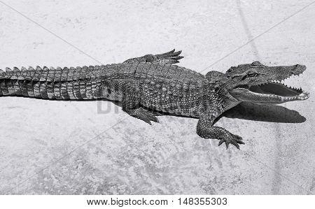 Dangerous crocodile open mouth black and white tone