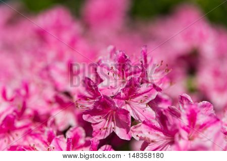 The blooming azalea spring blossom in garden