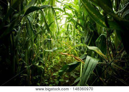 Land Field overgrown foliage green growing maize