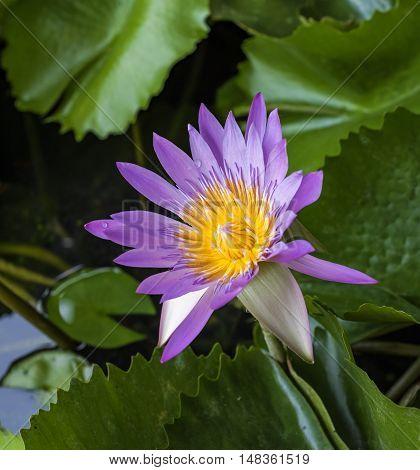 beautiful waterlily or lotus flower in the water.