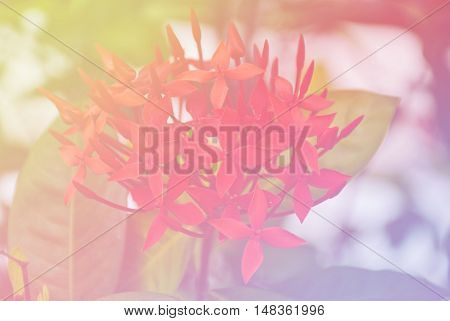 Blurred of Ixora flowers blooming. in the pastel color style for background.