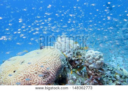 coral reef with glass fishes at the bottom of tropical sea underwater.