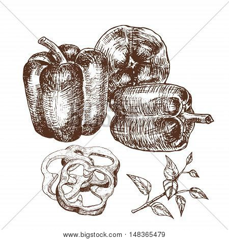 Hand drawn illustration set of bell peppers . Sketch style vector capsicums. Health eco food fresh farm drawing.