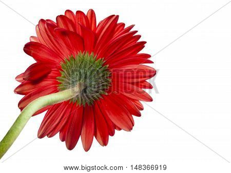 Gerbera Flower on a white background ,