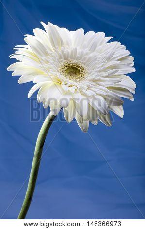 Gerbera Flower in a sunny day ,