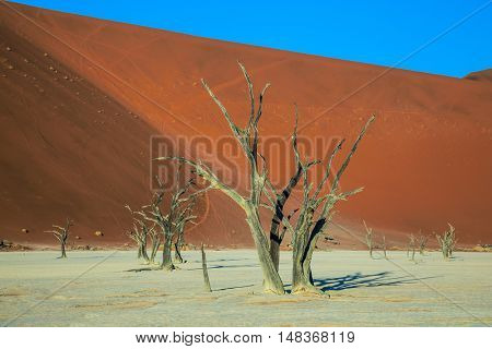 Ecotourism in Namibia. The dried lake Deadvlei. Dried trees among the giant orange sand dunes