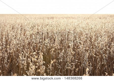 Oat field at daybreak in an agrarian landscape in Ciudad Real Province Spain