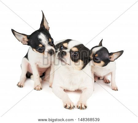 Two puppies of Chihuahua and their mother on white isolated background. All of them are black and white.