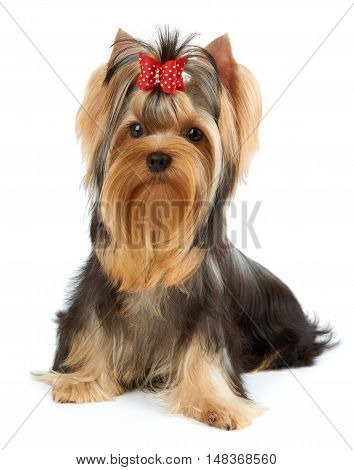Beautiful Yorkshire Terrier with red hair bow sits on white isolated background