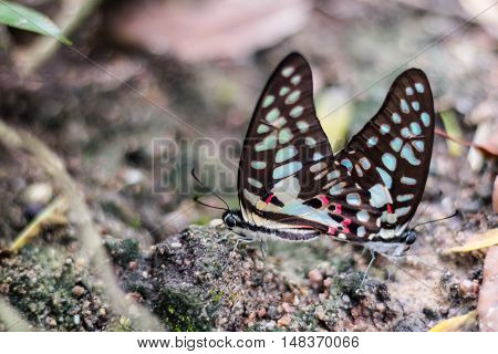 Reproduction of butterflies in nature coupling and mating of butterflies .