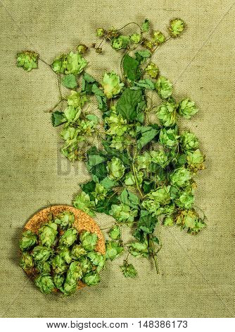 Wild hop. Dried herbs for use in alternative medicine spa herbal cosmetics herbal medicine preparing infusions decoctions tinctures powders ointments butter tea bath.
