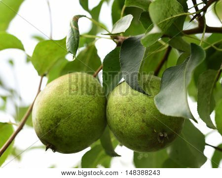 Pears in the garden. Green pear close-up