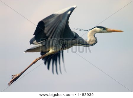 Flying Heron Bird
