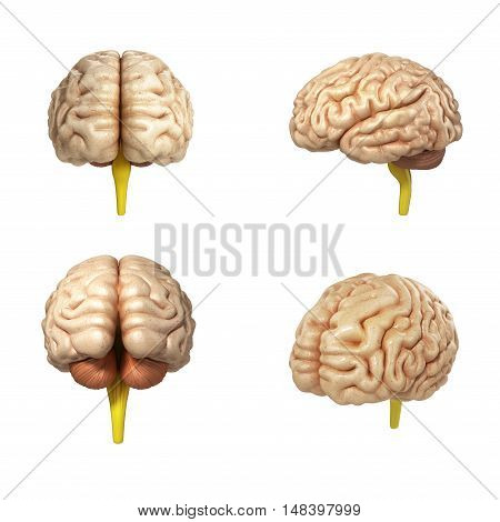 Collection Of Medically Accurate Illustration Of The Brain 3D Render