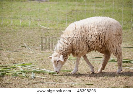 face of merino sheep in ranch farm use for farm animals and livestock topic