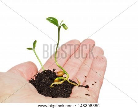 Small plant or tree growing in a tiny pile of fresh soil person's hand isolated on white