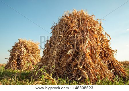 Field with sheaves of corn at sunset .