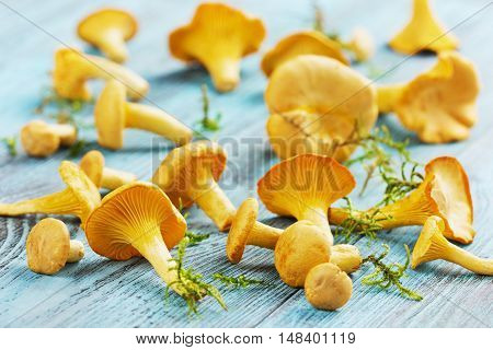 Yellow chanterelle or cantharellus cibarius forest mushrooms  harvest on a blue rustic wooden background. Vintage style.