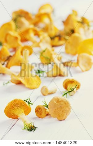 Yellow chanterelle or cantharellus cibarius forest mushrooms  harvest on a rustic white wooden background.