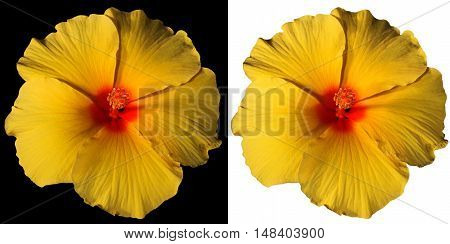 Macro photography of a orange yellow and red hibiscus flower isolated on white and on black background