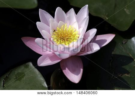 a single pink petaled water lily with yellow stemen and green leaves in a pond