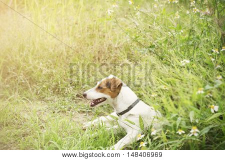 Background of Jack Russell dog sitting in the garden.