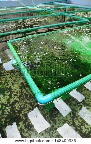 closeup seaweed in seaweed farm in Thailand