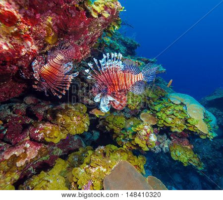 Lionfish (pterois) Near Coral,s Cayo Largo, Cuba