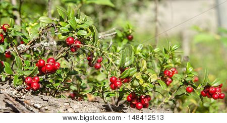 bush of ripe cranberries in the autumn forest close up