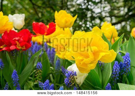 Red and yellow tulips and bluebell flowerbed close up