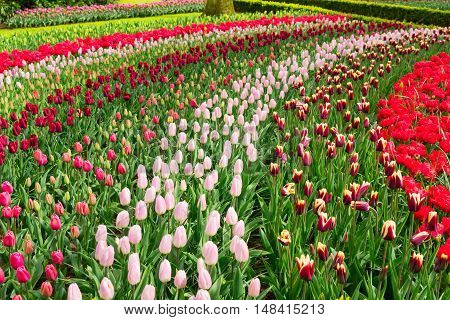 Colorful growing tulips stripes flowerbed at spring day