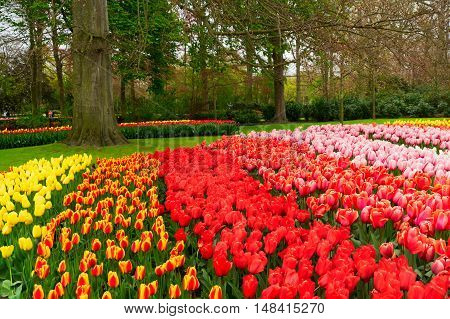 Colorful growing tulips flowerbed in spring formal garden