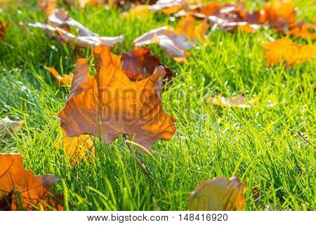 Dry maple leaf lying on green grass in the sun. Shallow depth of field. Autumn season. Nature concept.