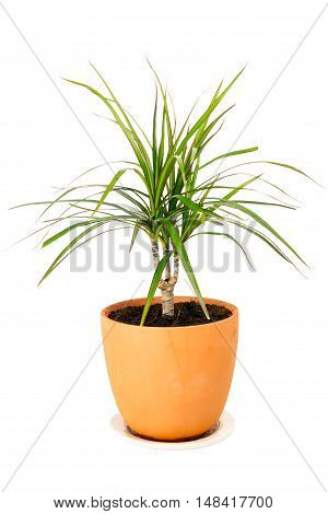 Dracaena marginata a potted plant isolated on white background