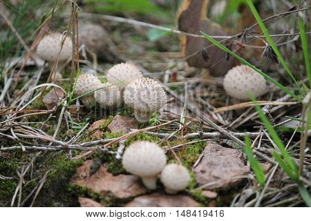 interesting pricky white balls of mushrooms grow in autumn  forest  on hill